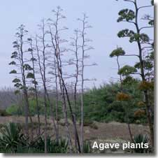 Agave plants at Almoladeras in Cabo de Gata