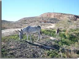 Donkey in Los Gallardos countryside