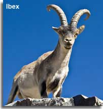 Spanish Ibex mountain goat