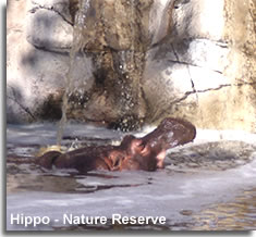 Hippo on the path of nature