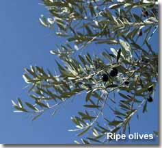 Olive tree branch with ripe olives
