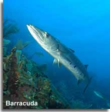 Barracuda sealife